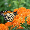 Monarch Butterfly on Butterfly Milkweed 2