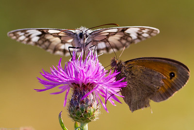 Marbled White (Melanargia galathea) and Meadow Brown (Maniola jurtina)