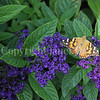 Painted Lady Butterfly on Heliotrope