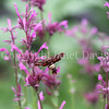 Nessus Sphinx Moth on Mexican Giant Hyssop 4