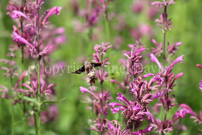 Nessus Sphinx Moth on Mexican Giant Hyssop 3