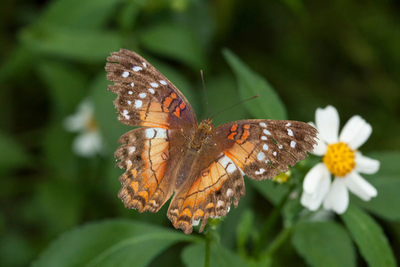 Red, orange and brown butterfly with its wings outstretched