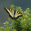 Western Tiger Swallowtail   (Papilio rutulus)<br /> on coyote brush