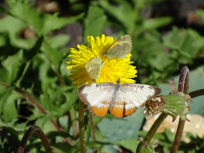 Dainty Sulphurs and a Common Mestra