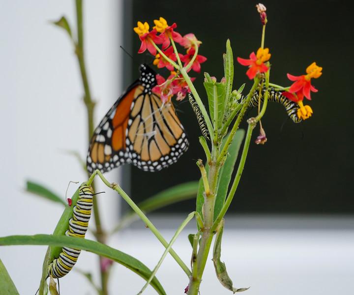 monarch butterfly+caterpillars on milkweed