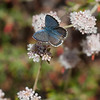 Smith's blue butterfly   (Euphilotes enoptes smithi)