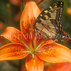 Eastern Tiger Swallowtail Butterfly on Orange Lily