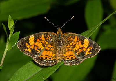 Crescent butterfly (Nymphalidae: Phyciodes sp.) from Iowa.