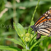 Monarch Butterfly Ovipositing on Butterfly Milkweed 2