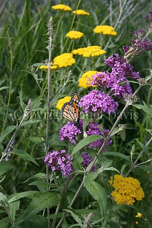 Monarch Butterfly on Butterfly Bush 4