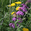 Monarch Butterfly on Butterfly Bush 4