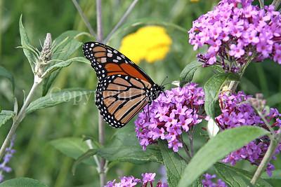 Monarch Butterfly on Butterfly Bush 1