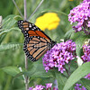 Monarch Butterfly on Butterfly Bush 1
