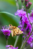 Skipper on Purple Clover