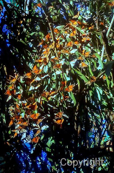 Monarch Migration California