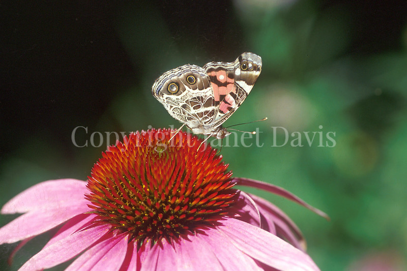 American Painted Lady Butterfly on Purple Coneflower