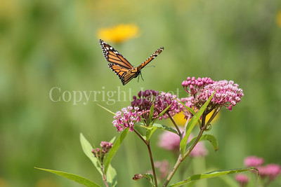 Monarch Butterfly on Swamp Milkweed 2