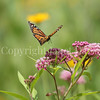 Monarch Butterfly on Swamp Milkweed 2
