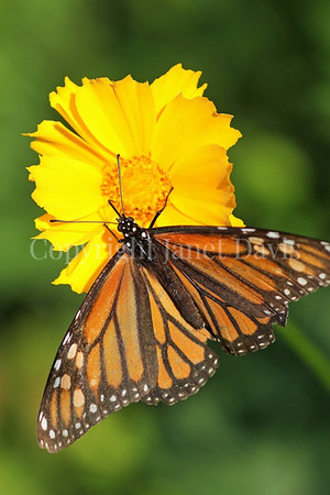 Monarch Butterfly on Lanceleaf Coreopsis