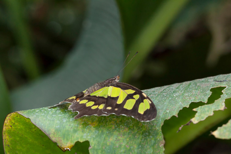 Malachite Brown and Green  butterfly on a leaf