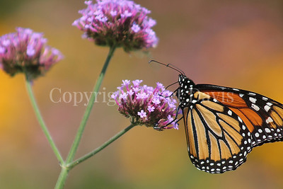 Monarch Butterfly on Tall Verbena 1