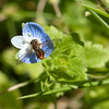 Insect on a Speedwell