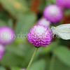 Cabbage White Butterfly on Gomphrena