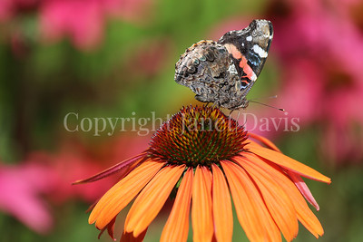 Red Admiral Butterfly on Echinacea 'Mama Mia' 1