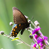 Pipevine Swallowtail Macro