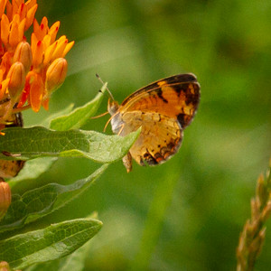 Pearl Crescent on Butterfly Weed
