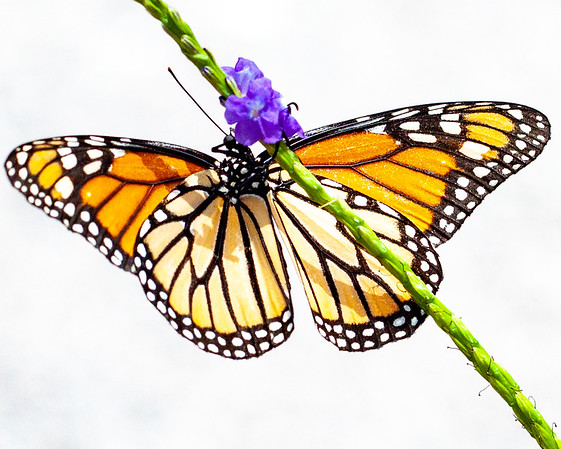 monarch butterfly + porterweed