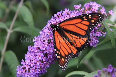 Monarch Butterfly on Butterfly Bush 3