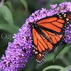 Monarch Butterfly on Butterfly Bush 3
