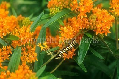 Monarch Butterfly Caterpillar on Butterfly Milkweed 1