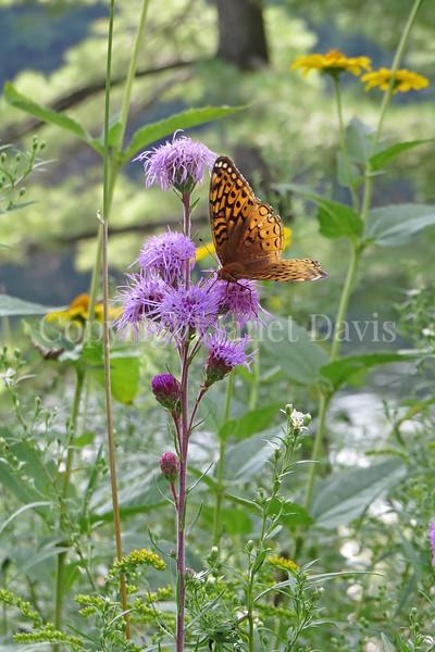 Great Spangled Fritillary Butterfly on Rocky Mountain Blazing Star 2