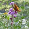 Great Spangled Fritillary Butterfly on Rocky Mountain Blazing Star 2