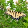 Eastern Tiger Swallowtail Butterfly on Abelia