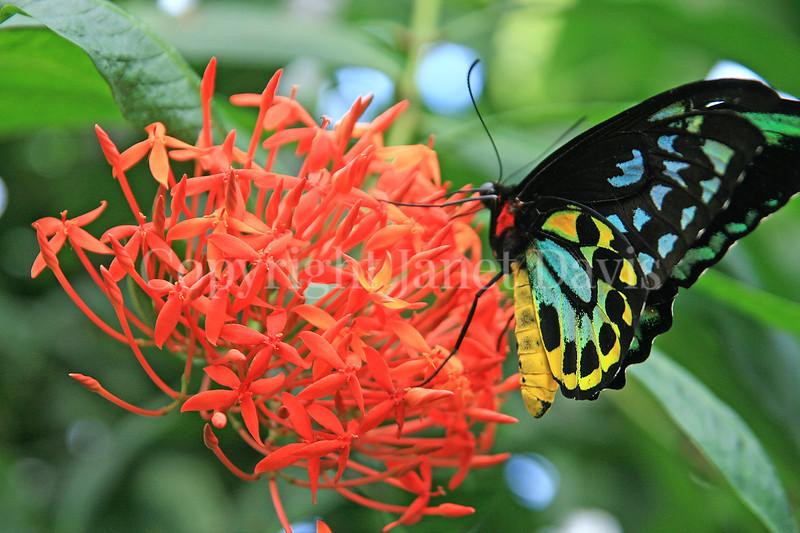 Cairn's Birdwing Butterfly on Ixora