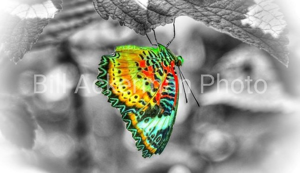 Colorful Butterfly, Monochrome Background