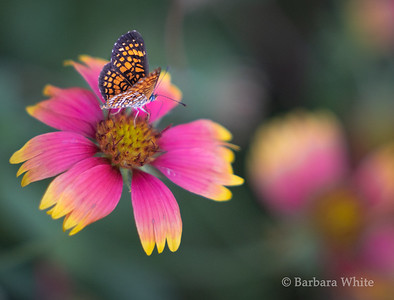 Elada Checkerspot Butterfly