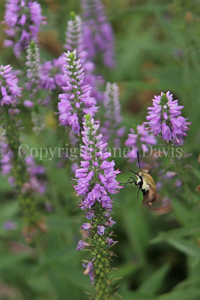 Hummingbird Clearwing Moth on Veronica 'Eveline' 2