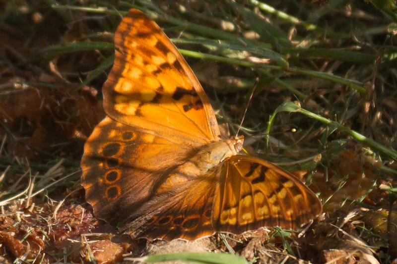Tawny Emperor in Grass