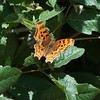 Satyr comma  (Polygonia satyrus) on poison oak