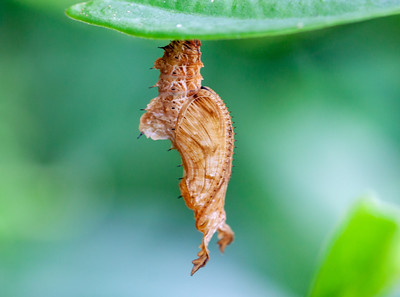 zebra longwing chrysalis