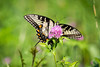 Ventral View Tiger Swallowtail Butterfly