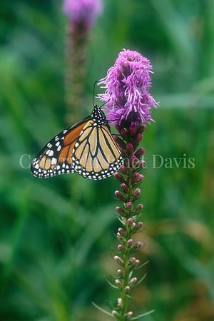 Monarch Butterfly on Dense Blazing Star 1