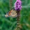 Monarch Butterfly on Dense Blazing Star 1
