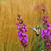Eastern Tiger Swallowtail Butterfly on Meadow  Blazing Star