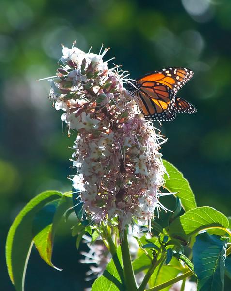 Monarch on Buckeye