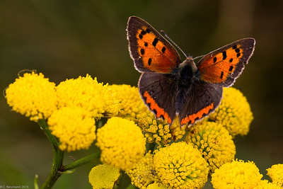Small Copper (Lycaena phleas)